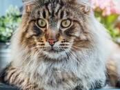 Кошки, котята Мэйн-кун, Фото